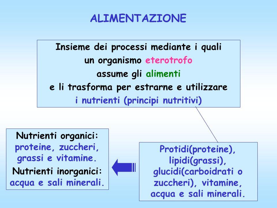 ALIMENTAZIONE Insieme dei processi mediante i quali un organismo eterotrofo assume gli alimenti e li trasforma per estrarne e utilizzare i nutrienti (