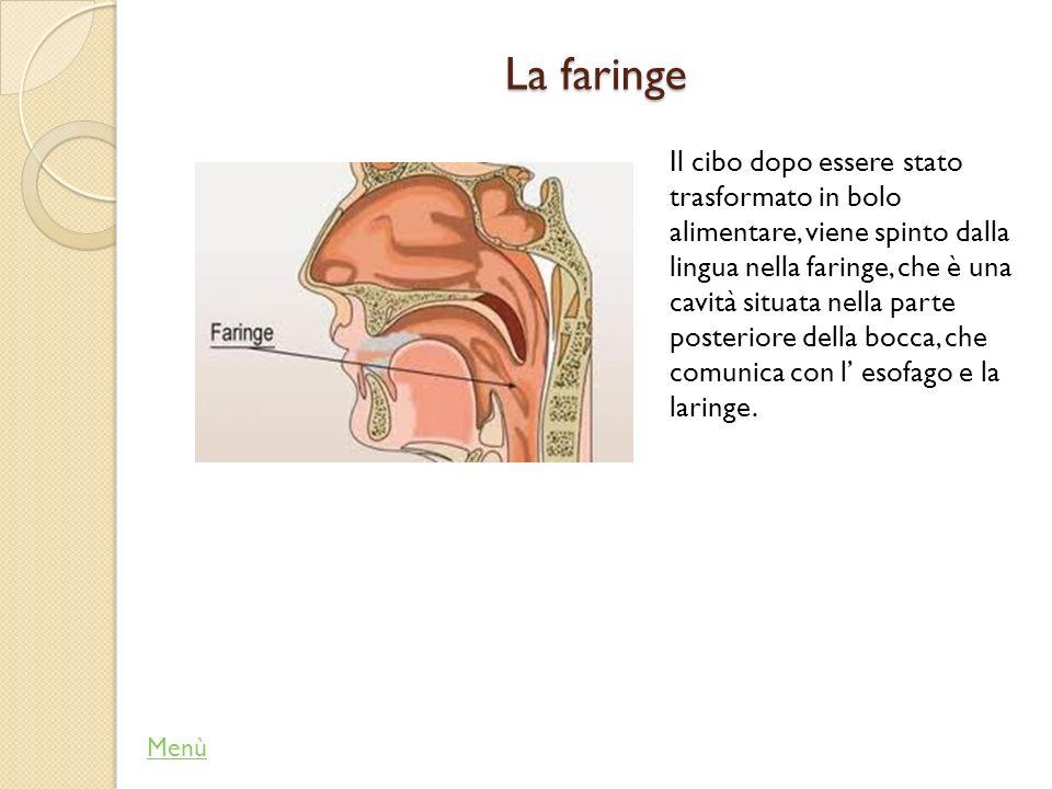 L epiglottide Menù L epiglottide è una piccola aletta che chiude l imbocco della laringe, quando passa il bolo alimentare, per evitare che quest ultimo entri nella laringe.