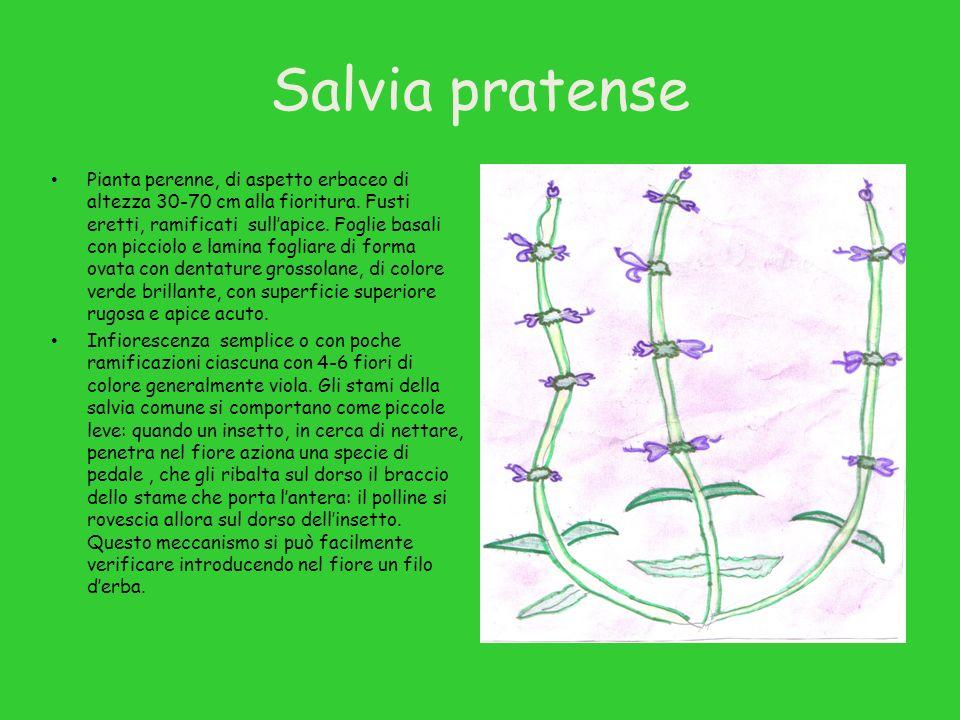 Salvia pratense Pianta perenne, di aspetto erbaceo di altezza 30-70 cm alla fioritura.