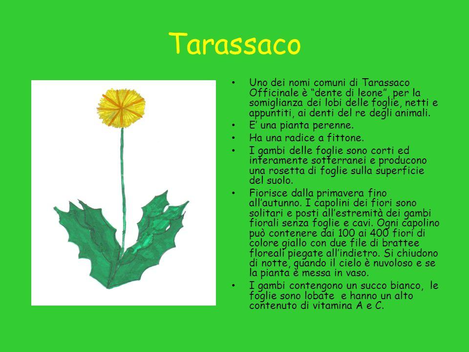 Tarassaco Uno dei nomi comuni di Tarassaco Officinale è dente di leone, per la somiglianza dei lobi delle foglie, netti e appuntiti, ai denti del re degli animali.
