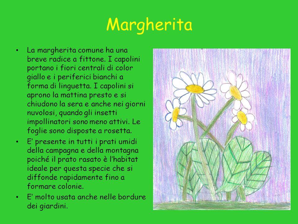Margherita La margherita comune ha una breve radice a fittone.