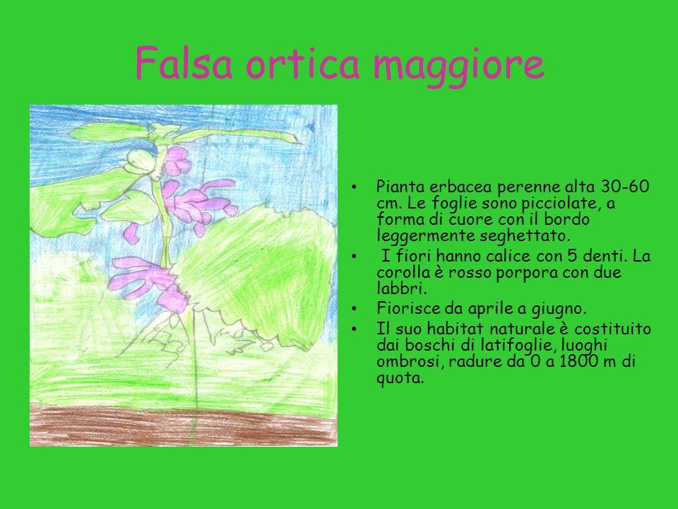 Falsa ortica maggiore Pianta erbacea perenne alta 30-60 cm.