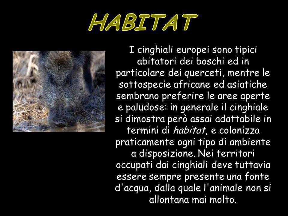 I cinghiali europei sono tipici abitatori dei boschi ed in particolare dei querceti, mentre le sottospecie africane ed asiatiche sembrano preferire le