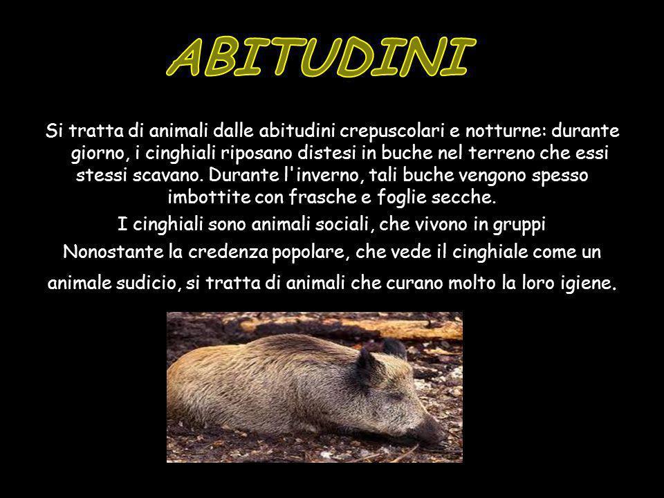 Si tratta di animali dalle abitudini crepuscolari e notturne: durante il giorno, i cinghiali riposano distesi in buche nel terreno che essi stessi sca