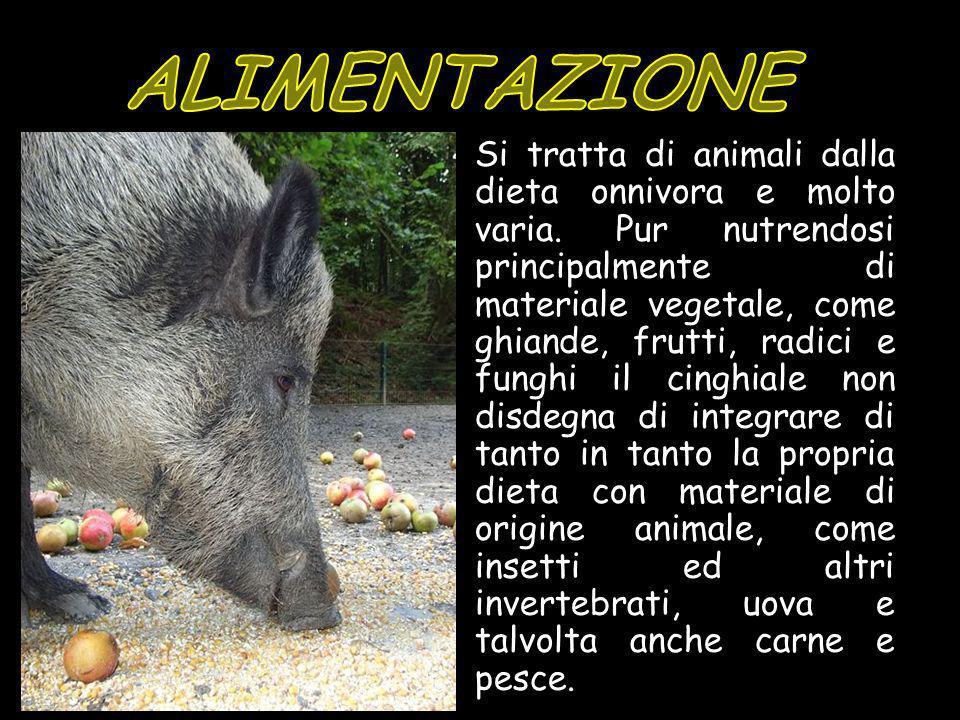 Si tratta di animali dalla dieta onnivora e molto varia. Pur nutrendosi principalmente di materiale vegetale, come ghiande, frutti, radici e funghi il