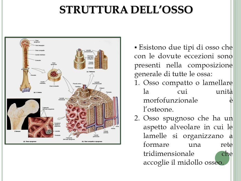 STRUTTURA DELLOSSO Esistono due tipi di osso che con le dovute eccezioni sono presenti nella composizione generale di tutte le ossa: 1.Osso compatto o