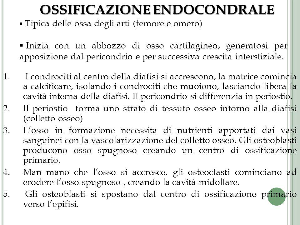OSSIFICAZIONE ENDOCONDRALE Tipica delle ossa degli arti (femore e omero) Inizia con un abbozzo di osso cartilagineo, generatosi per apposizione dal pe