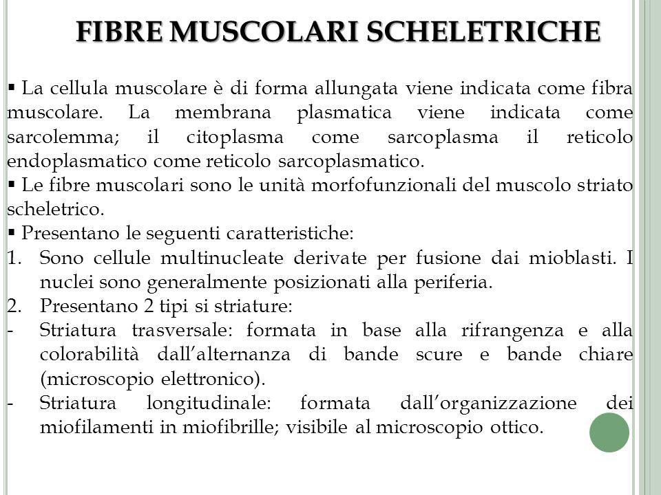 FIBRE MUSCOLARI SCHELETRICHE La cellula muscolare è di forma allungata viene indicata come fibra muscolare. La membrana plasmatica viene indicata come