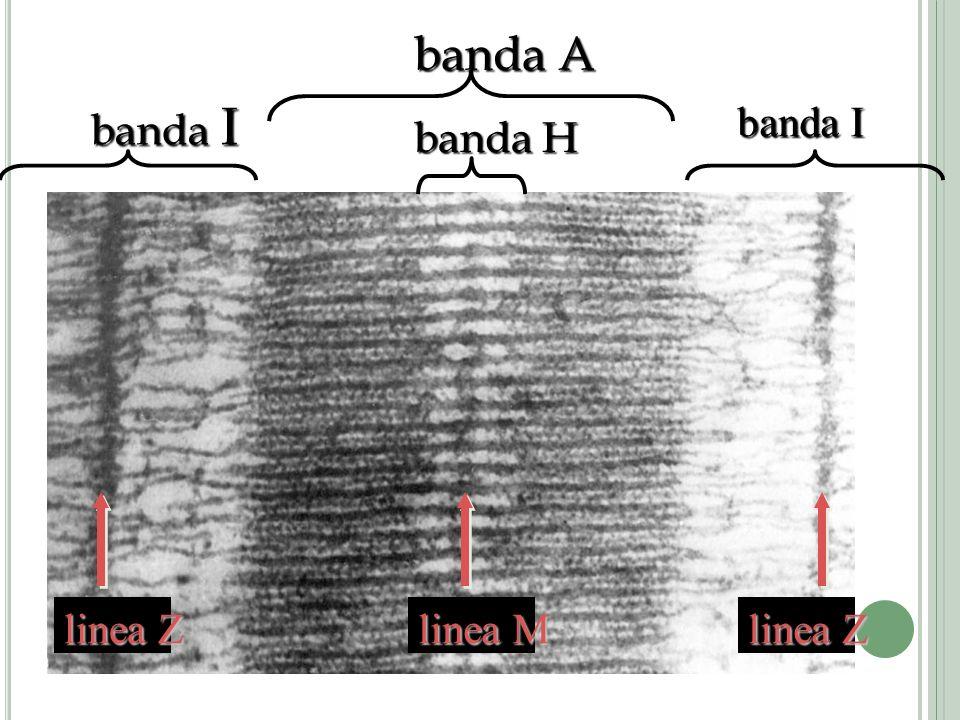 banda A banda I linea Z linea M linea Z banda H