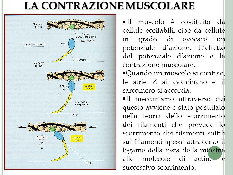 LA CONTRAZIONE MUSCOLARE Il muscolo è costituito da cellule eccitabili, cioè da cellule in grado di evocare un potenziale dazione. Leffetto del potenz