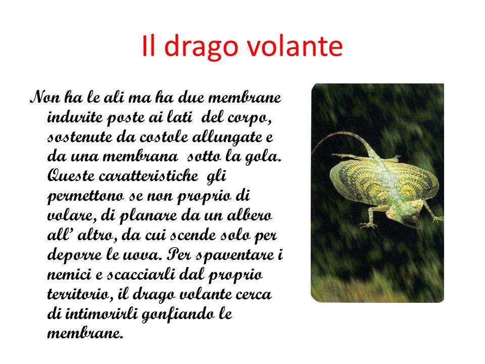 Il drago volante Non ha le ali ma ha due membrane indurite poste ai lati del corpo, sostenute da costole allungate e da una membrana sotto la gola. Qu