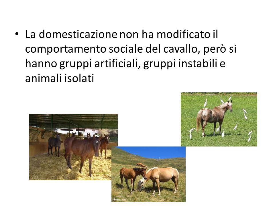 La domesticazione non ha modificato il comportamento sociale del cavallo, però si hanno gruppi artificiali, gruppi instabili e animali isolati