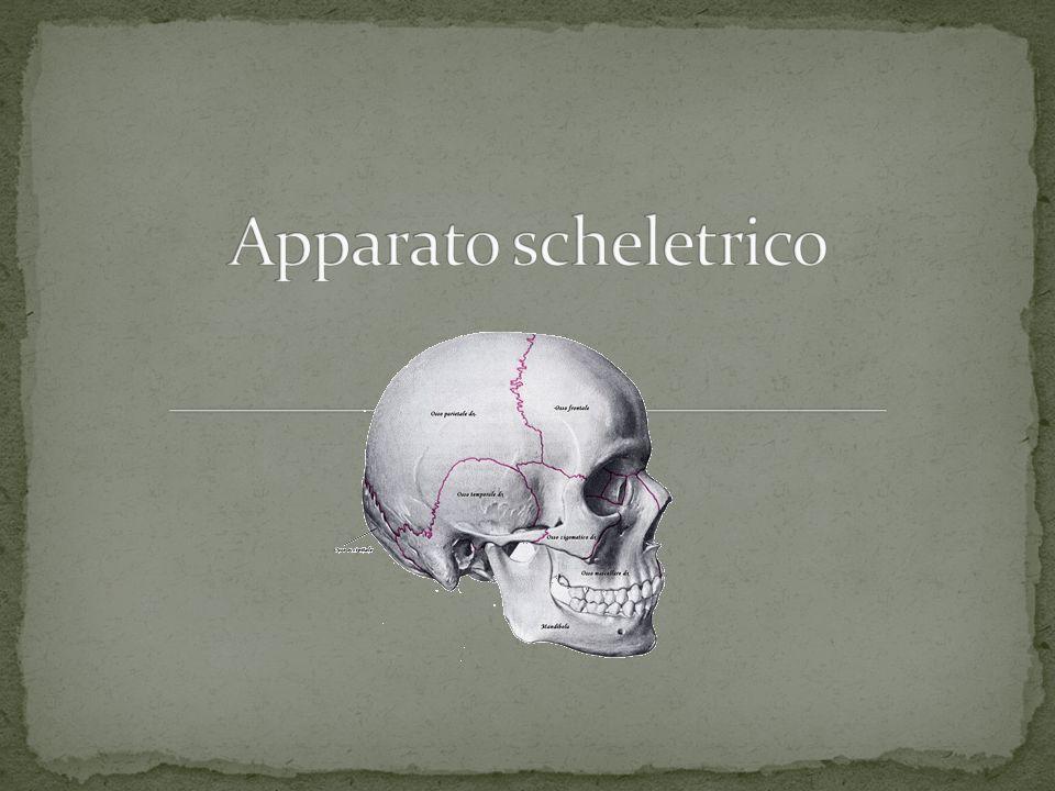 Apparato scheletrico Funzione protettiva Funzione strutturale