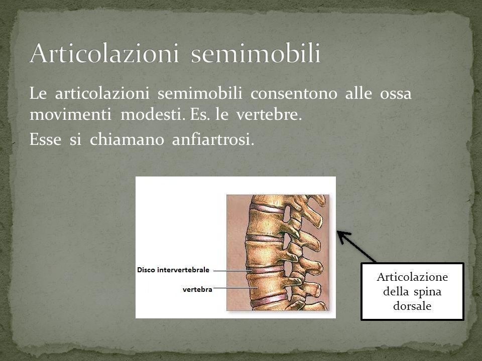 Le articolazioni semimobili consentono alle ossa movimenti modesti. Es. le vertebre. Esse si chiamano anfiartrosi. Articolazione della spina dorsale