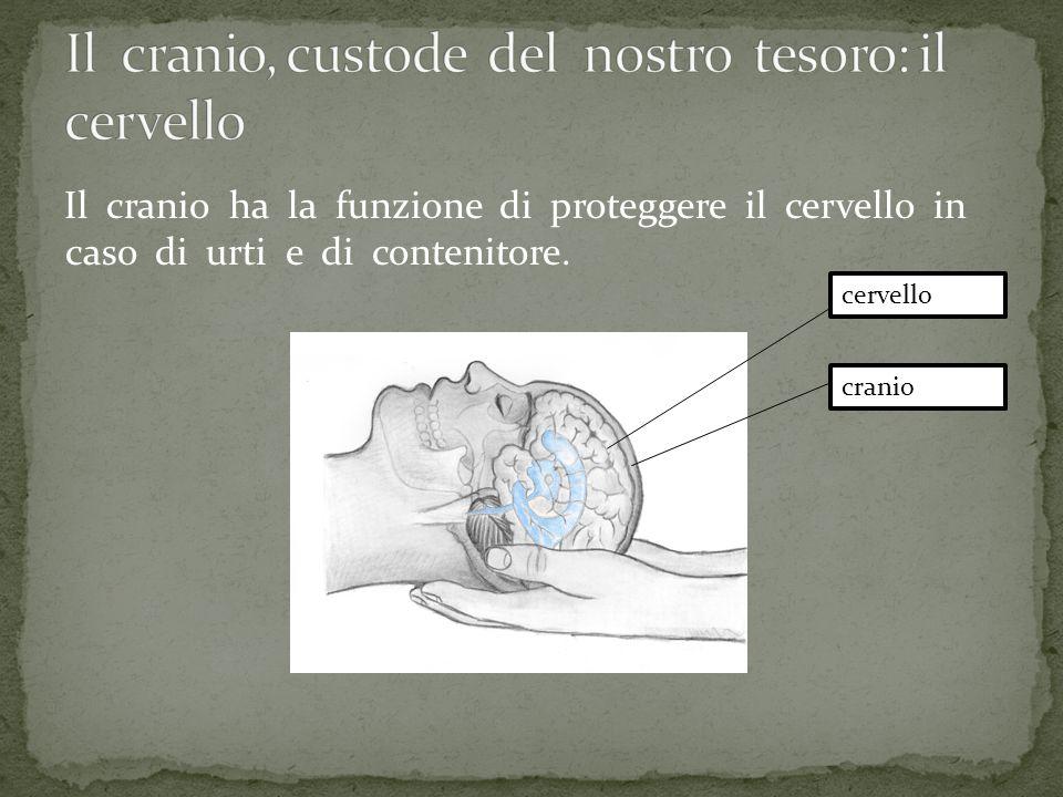 Il cranio ha la funzione di proteggere il cervello in caso di urti e di contenitore. cervello cranio