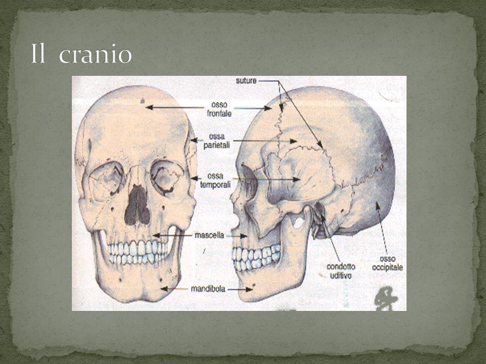 La spina dorsale ha sia il compito di sostegno sia di protezione.