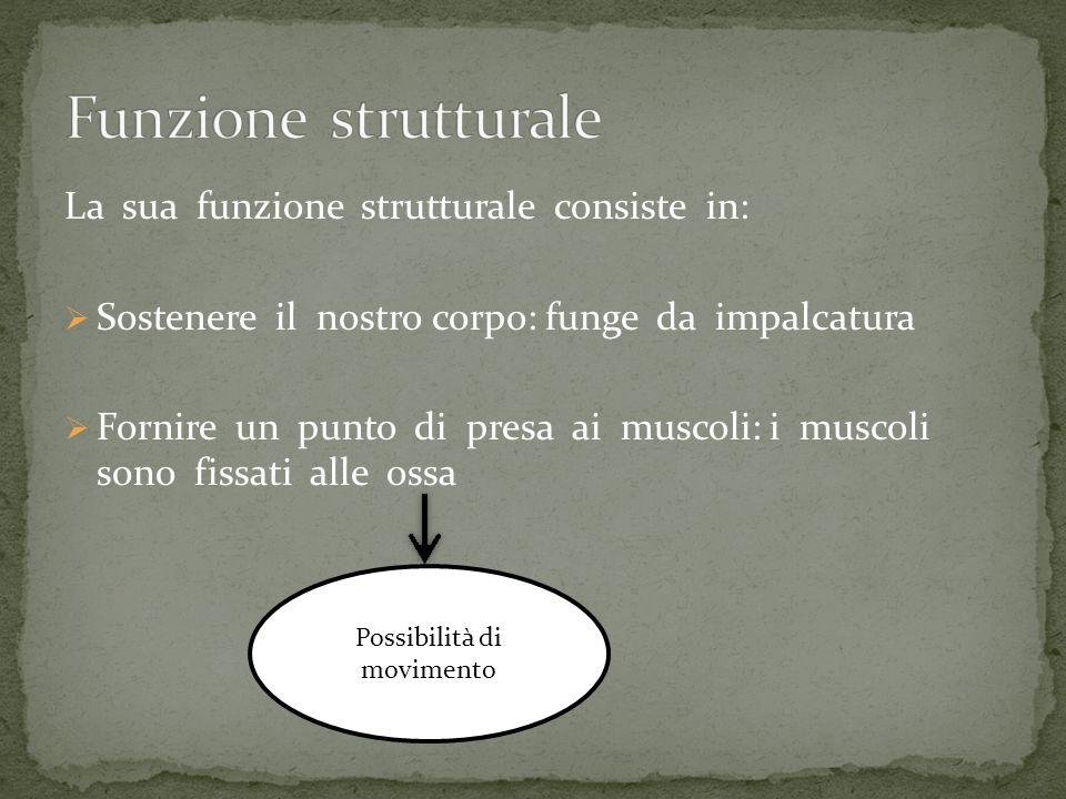 La sua funzione strutturale consiste in: Sostenere il nostro corpo: funge da impalcatura Fornire un punto di presa ai muscoli: i muscoli sono fissati
