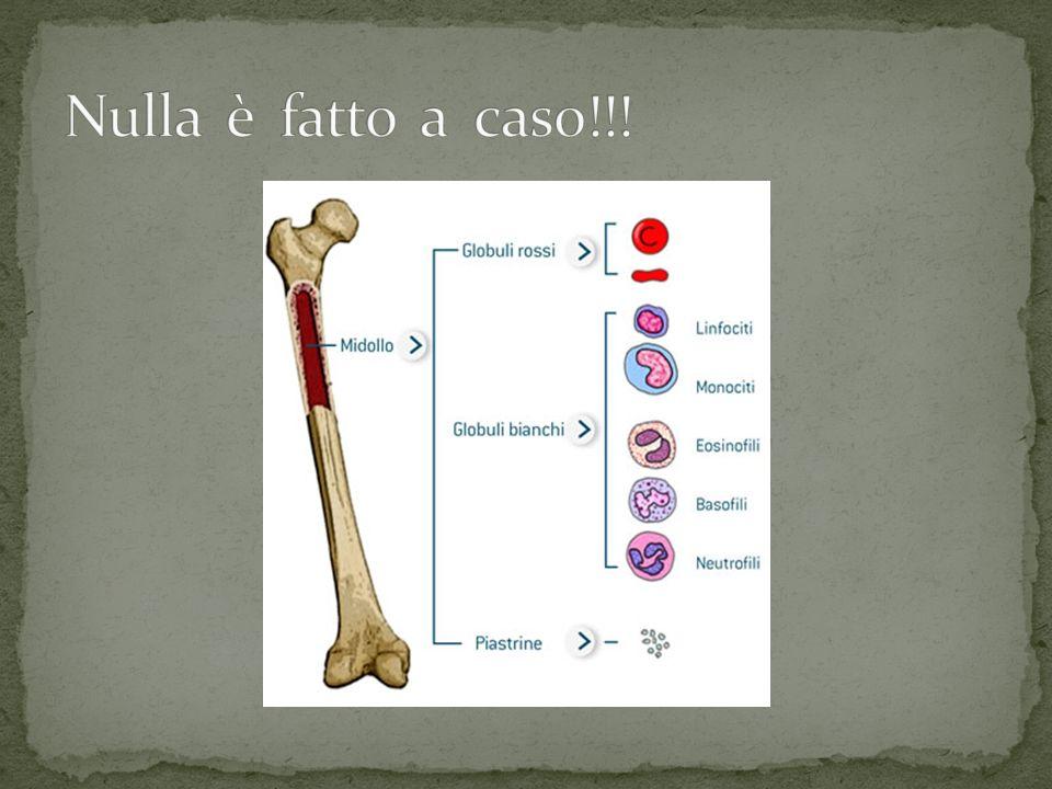Come si vede nella figura precedente la cavità ha un suo scopo preciso: ospitare il midollo osseo.