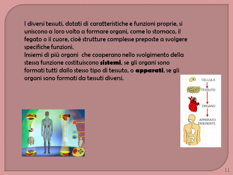 I diversi tessuti, dotati di caratteristiche e funzioni proprie, si uniscono a loro volta a formare organi, come lo stomaco, il fegato o il cuore, cio