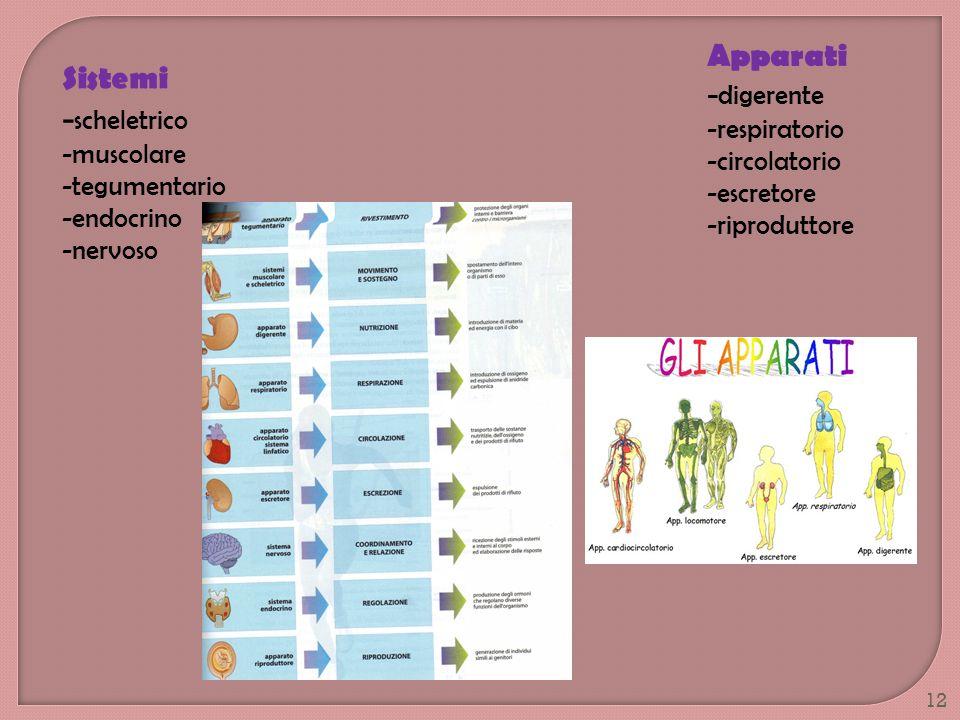 Sistemi - scheletrico -muscolare -tegumentario -endocrino -nervoso Apparati - digerente -respiratorio -circolatorio -escretore -riproduttore 12