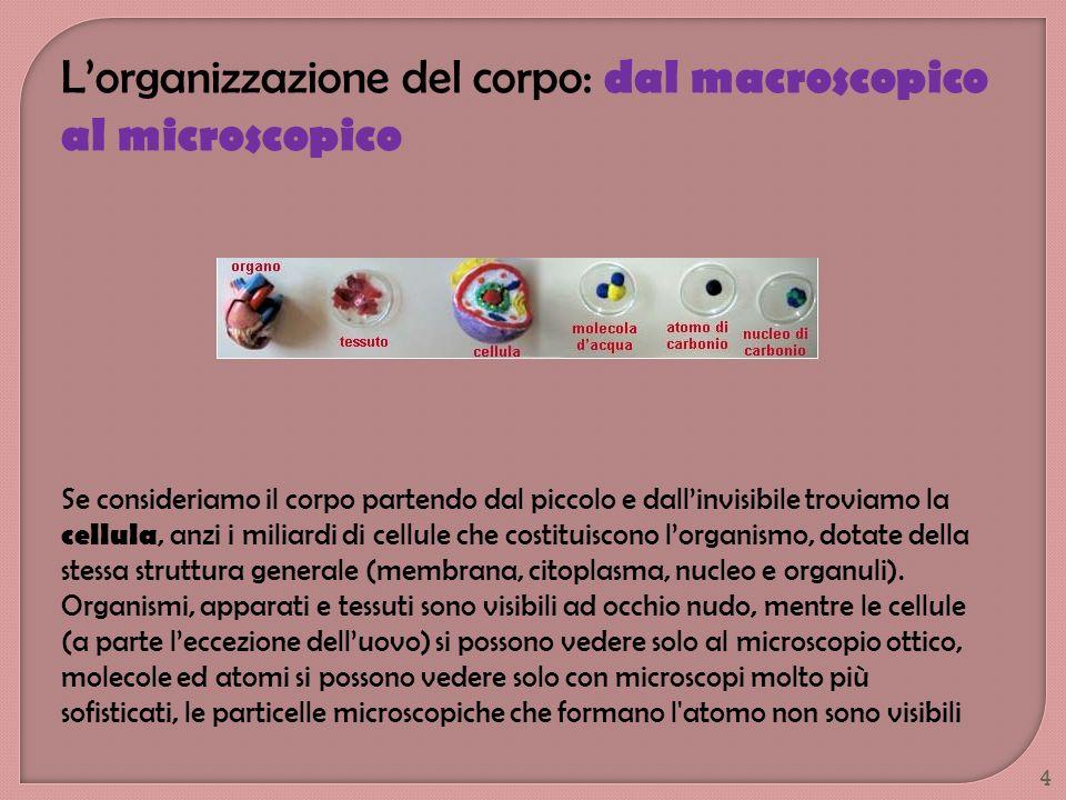 Lorganizzazione del corpo: dal macroscopico al microscopico Se consideriamo il corpo partendo dal piccolo e dallinvisibile troviamo la cellula, anzi i