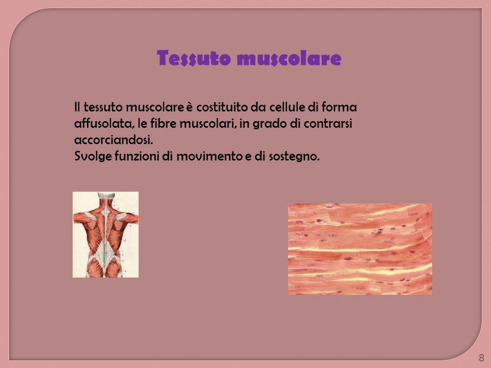 Tessuto muscolare Il tessuto muscolare è costituito da cellule di forma affusolata, le fibre muscolari, in grado di contrarsi accorciandosi. Svolge fu