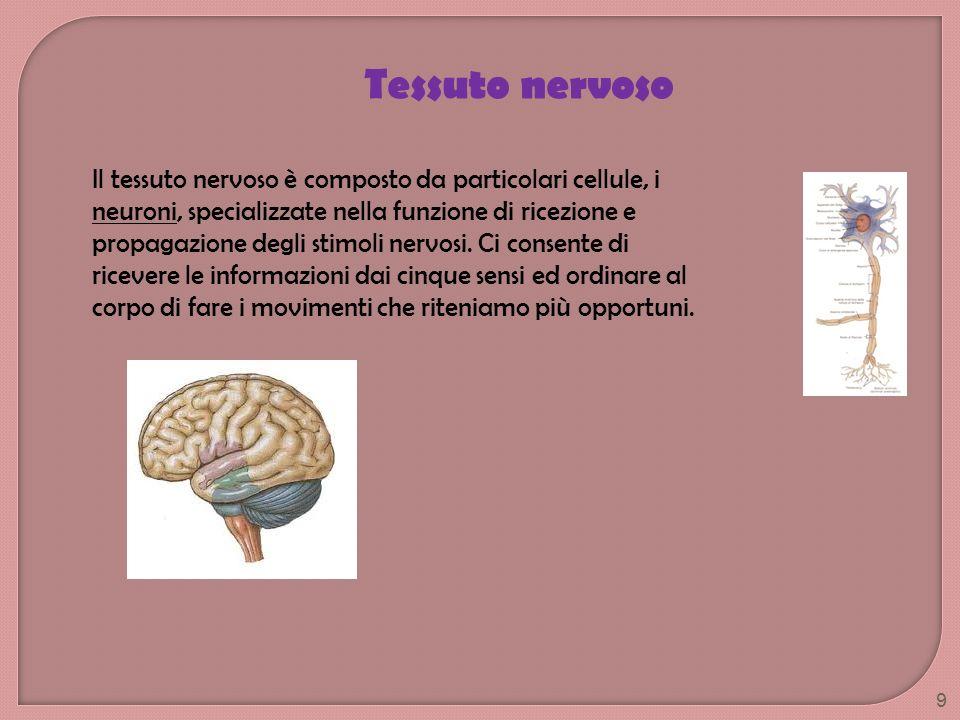 Il tessuto nervoso è composto da particolari cellule, i neuroni, specializzate nella funzione di ricezione e propagazione degli stimoli nervosi. Ci co