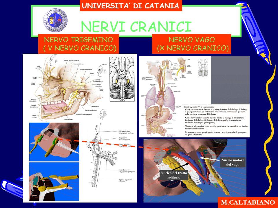 NERVI CRANICI UNIVERSITA DI CATANIA M.CALTABIANO NERVO TRIGEMINO ( V NERVO CRANICO) NERVO VAGO (X NERVO CRANICO)