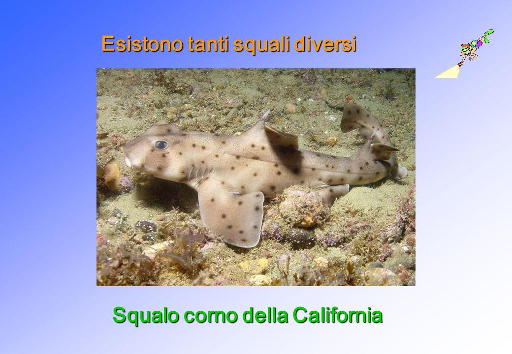 Esistono tanti squali diversi Squalo corno della California