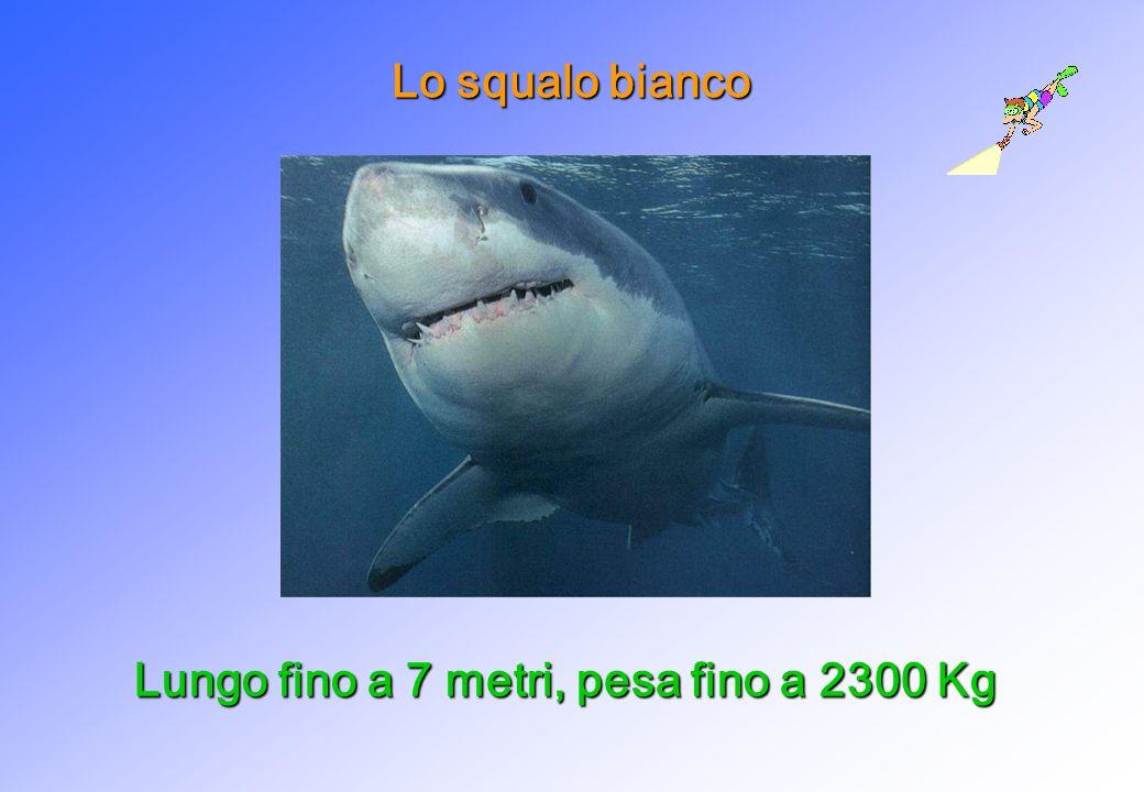 Lo squalo bianco Lungo fino a 7 metri, pesa fino a 2300 Kg