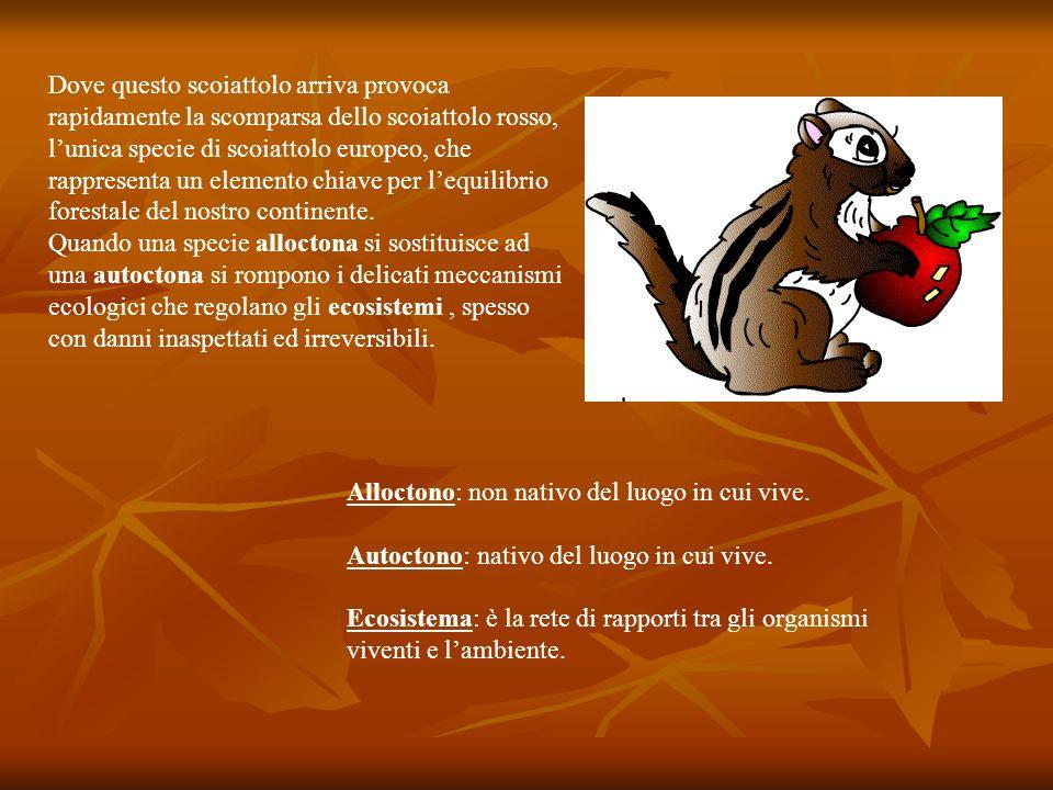 Dove questo scoiattolo arriva provoca rapidamente la scomparsa dello scoiattolo rosso, lunica specie di scoiattolo europeo, che rappresenta un element