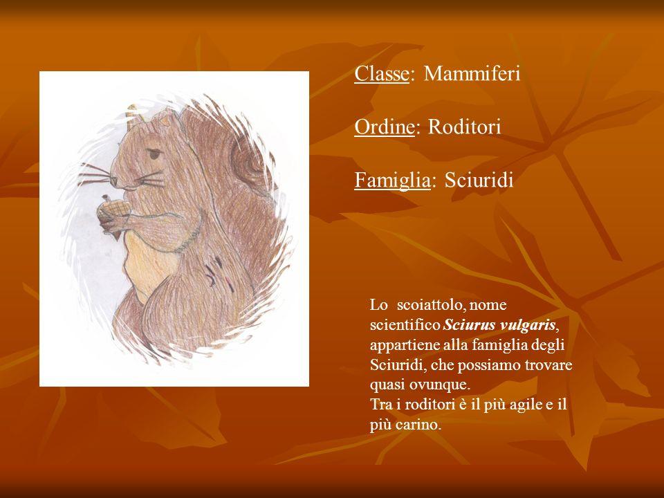 Classe: Mammiferi Ordine: Roditori Famiglia: Sciuridi Lo scoiattolo, nome scientifico Sciurus vulgaris, appartiene alla famiglia degli Sciuridi, che p