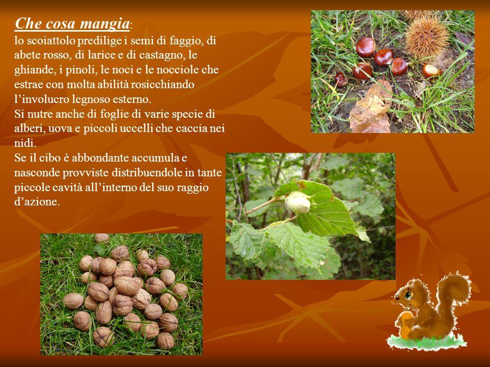 Che cosa mangia : lo scoiattolo predilige i semi di faggio, di abete rosso, di larice e di castagno, le ghiande, i pinoli, le noci e le nocciole che e