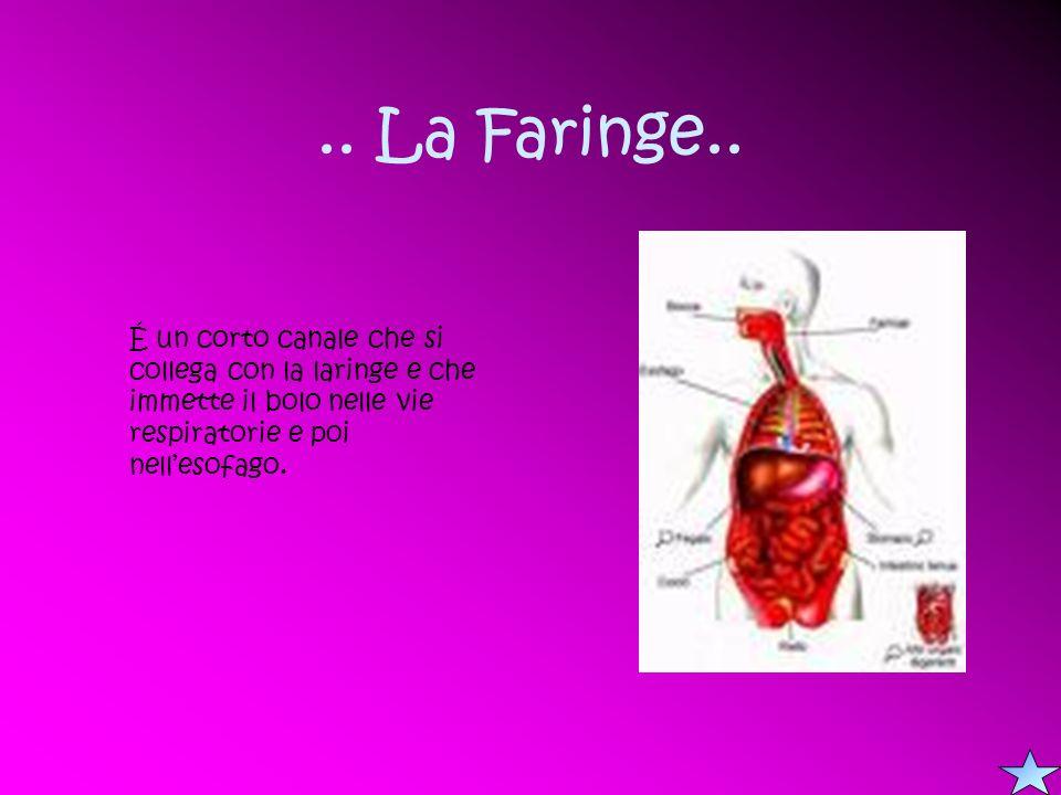 .. La Faringe.. É un corto canale che si collega con la laringe e che immette il bolo nelle vie respiratorie e poi nellesofago.