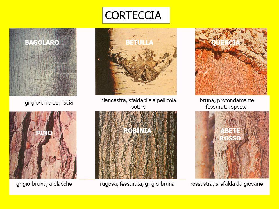 CORTECCIA grigio-cinereo, liscia rossastra, si sfalda da giovanerugosa, fessurata, grigio-bruna bruna, profondamente fessurata, spessa biancastra, sfa