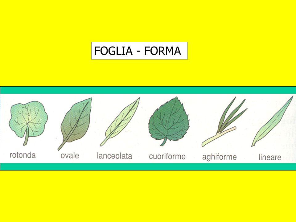 FOGLIA - FORMA