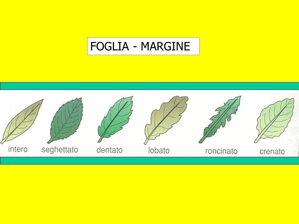 FOGLIA - MARGINE