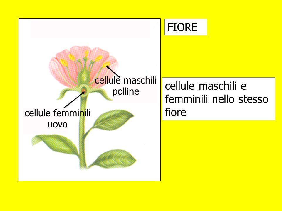 cellule maschili e femminili nello stesso fiore FIORE cellule femminili uovo cellule maschili polline