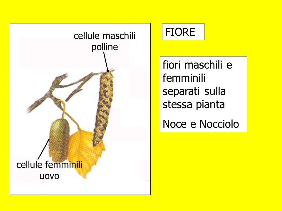 fiori maschili e femminili separati sulla stessa pianta Noce e Nocciolo FIORE cellule femminili uovo cellule maschili polline