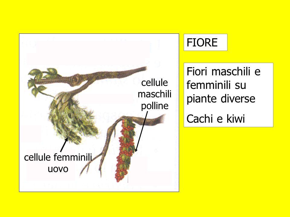 Fiori maschili e femminili su piante diverse Cachi e kiwi FIORE cellule maschili polline cellule femminili uovo