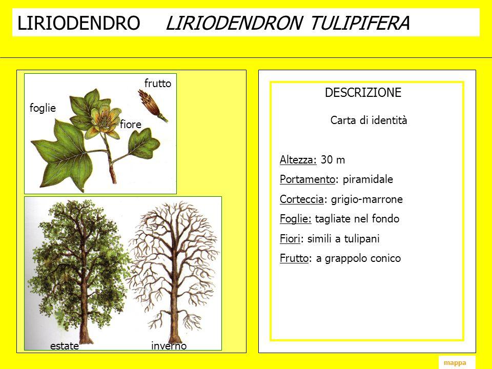 LIRIODENDROLIRIODENDRON TULIPIFERA DESCRIZIONE fiore frutto foglie estate inverno mappa Carta di identità Altezza: 30 m Portamento: piramidale Cortecc