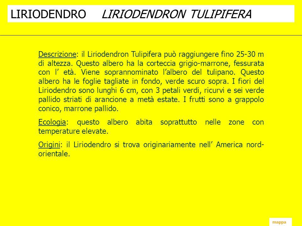 mappa Descrizione: il Liriodendron Tulipifera può raggiungere fino 25-30 m di altezza. Questo albero ha la corteccia grigio-marrone, fessurata con l e