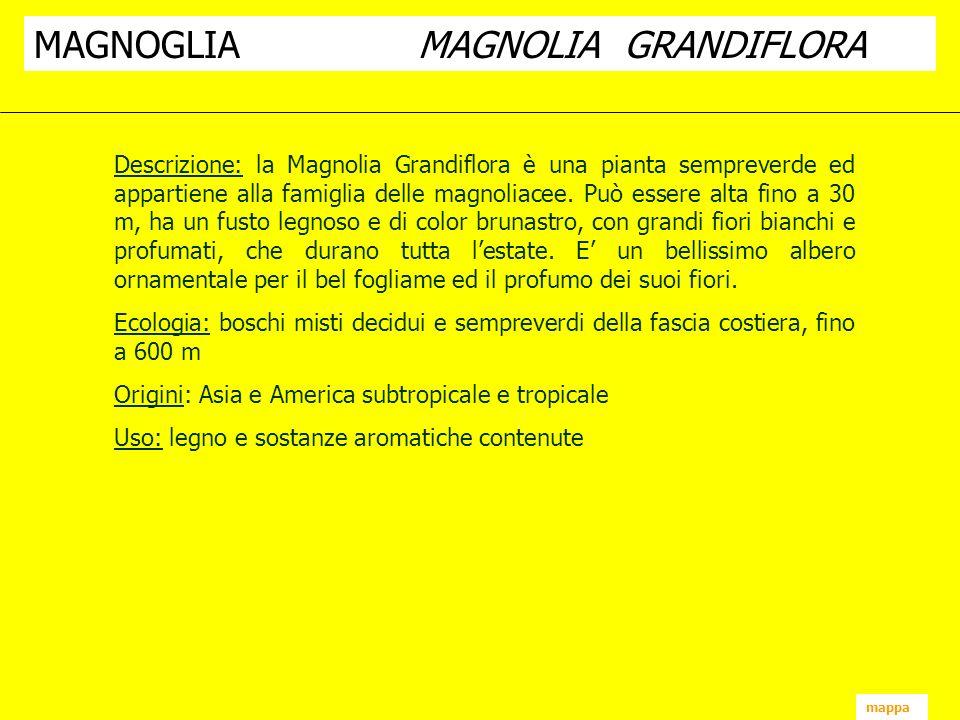 mappa Descrizione: la Magnolia Grandiflora è una pianta sempreverde ed appartiene alla famiglia delle magnoliacee. Può essere alta fino a 30 m, ha un
