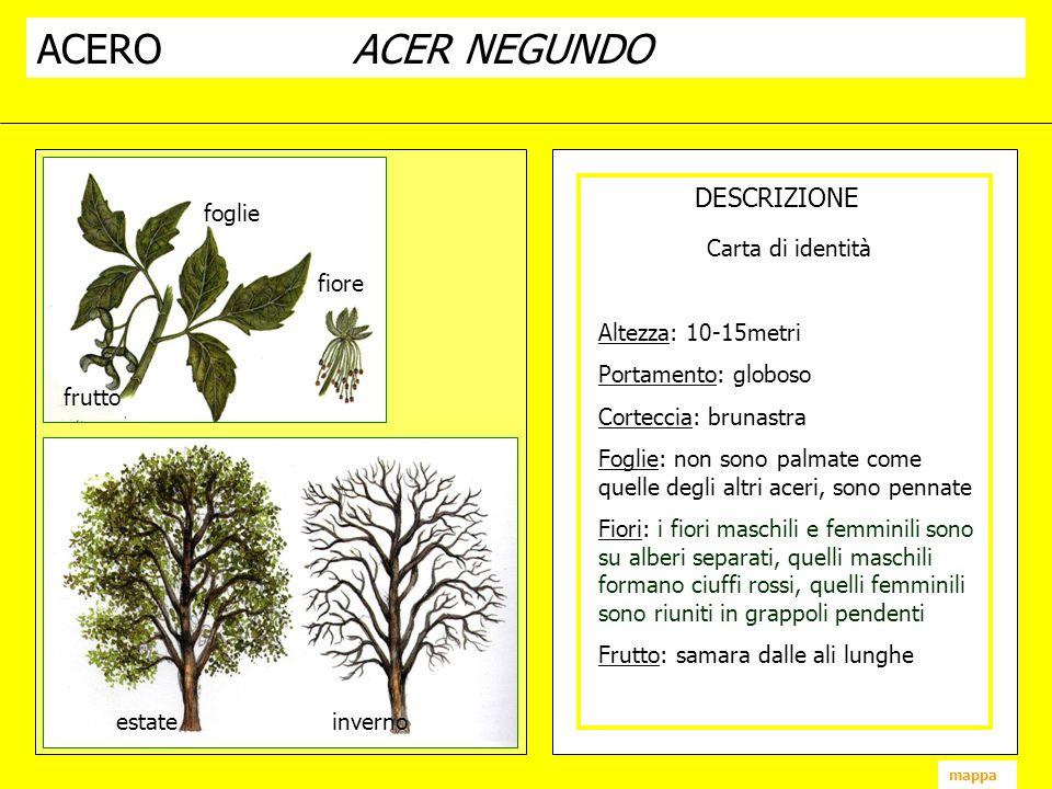 ACEROACER NEGUNDO DESCRIZIONE fiore frutto foglie estate inverno mappa Carta di identità Altezza: 10-15metri Portamento: globoso Corteccia: brunastra