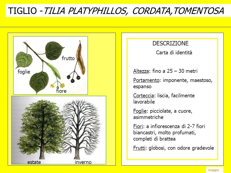 TIGLIO -TILIA PLATYPHILLOS, CORDATA,TOMENTOSA DESCRIZIONE fiore frutto foglie estate inverno mappa Carta di identità Altezza: fino a 25 – 30 metri Por