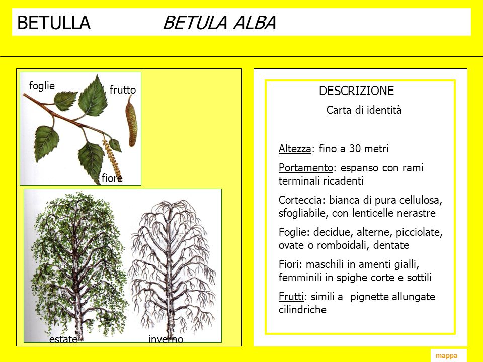 BETULLABETULA ALBA DESCRIZIONE fiore frutto foglie estate inverno mappa Carta di identità Altezza: fino a 30 metri Portamento: espanso con rami termin