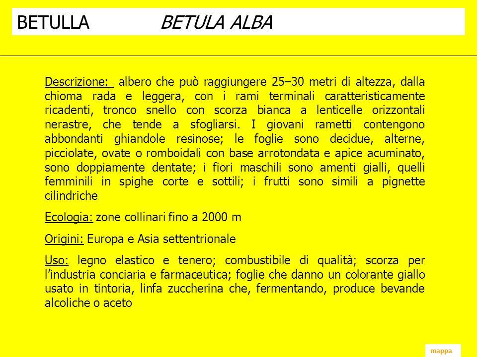 mappa BETULLABETULA ALBA Descrizione: albero che può raggiungere 25–30 metri di altezza, dalla chioma rada e leggera, con i rami terminali caratterist