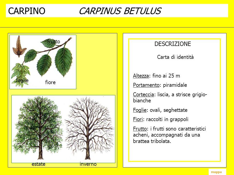 CARPINOCARPINUS BETULUS DESCRIZIONE fiore frutto foglie estate inverno mappa Carta di identità Altezza: fino ai 25 m Portamento: piramidale Corteccia: