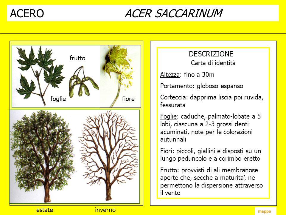 ACEROACER SACCARINUM DESCRIZIONE fiore frutto foglie estate inverno mappa Carta di identità Altezza: fino a 30m Portamento: globoso espanso Corteccia:
