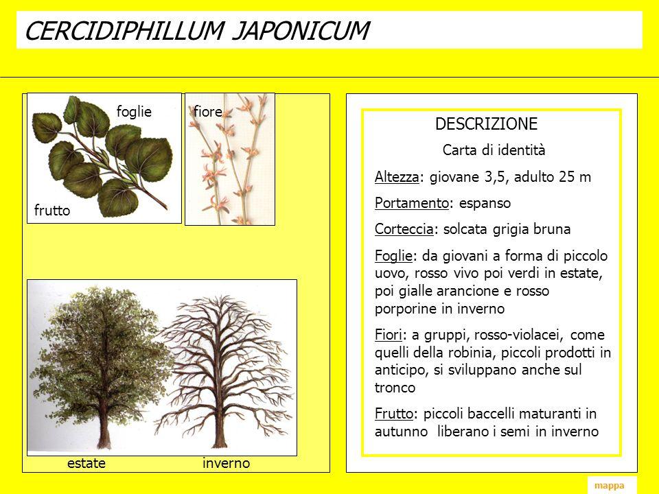 CERCIDIPHILLUM JAPONICUM DESCRIZIONE fiore frutto foglie estate inverno mappa Carta di identità Altezza: giovane 3,5, adulto 25 m Portamento: espanso